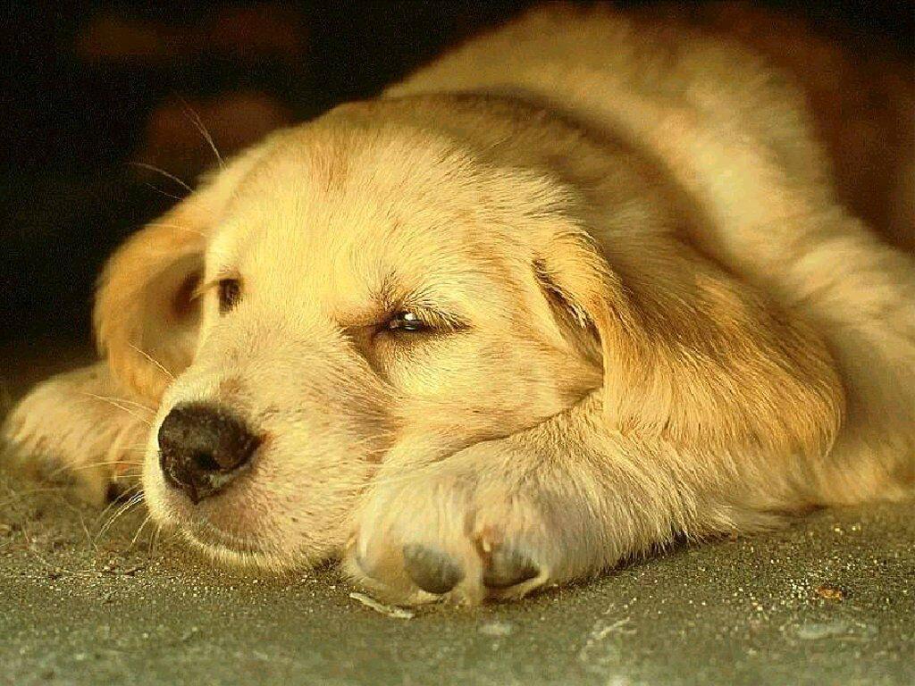 Ретривер спит