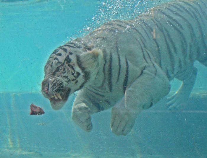 Галерея » Тигромания – всё о тиграх