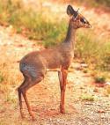 антилопа Дик-дик (мини антилопа)