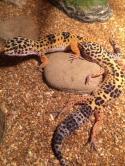 Эублефар (из семейства гекконовых)